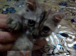 قطه شيرازي